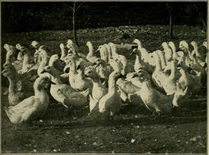 How we make ducks pay, American Pekin Duck Company, Boston