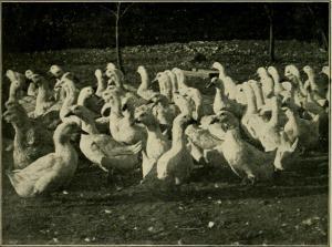 How we make ducks pay, American Pekin Duck Company, Boston
